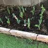 花壇のチューリップ つぼみが出始めました