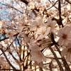 都会の公園に立ち寄ってお花見してみた