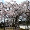 醍醐寺・2年前と今年の桜🌸
