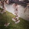 桜の森の五分咲きの下