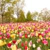 オランダ旅行〜キューケンホフ公園〜