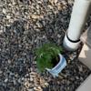 ミニトマトの植え替え