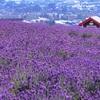 【ラベンダー】まるで絵本。一面に広がる紫。北海道上富良野