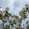 ハナミズキの「花」
