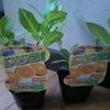 関東でレモンが育つの?レモン21なる新品種を購入して育成実験。