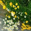 通勤途中の花畑