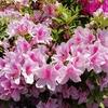 GWに訪れたいツツジの花咲く大倉公園(大府市)