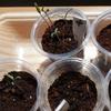 窓辺で苗作り ③  ミニトマト