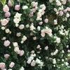 バラの病気と対策 有機栽培で低農薬