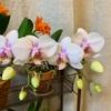 コチョウラン開花とレイニーブルーの鉢替え