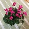 2-340   やっとシクラメンに花が咲きました!!