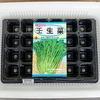ベランダで「ミブナ」をトレイ水耕栽培中です。水菜との違いを確かめましょう