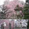 今年の『桜』は、ご近所で、、意外と見応えありましたね 🌸