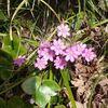雪割草の花迎え
