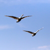 手賀沼上空を飛ぶコブハクチョウ