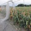 とうもろこし畝の防鳥網の撤去
