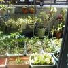 ベランダ菜園Now !