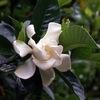 アカネ科の植物.今日とりあげるのは クチナシ.子どもの頃,その白い花,強い香にビックリした思い出があります.そして良く覚えているのは,大きな青虫.オオスカシバの幼虫.古くから親しまれていたのは,花ではなく薬用・染料・着色剤としての果実.今でも食品売り場に着色用の果実が置かれていますね.クチナシという呼び名も,果実に由来するというのが定説.
