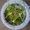 3年目のシラサギカヤツリに花(?)が咲く。