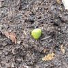 次々と芽出し!&早咲き・遅咲き品種について