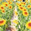愛知牧場の向日葵と養老鉄道