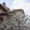 オオシマザクラが咲いています