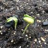 今年は黒豆が大豊作の予感