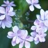【花】アルバム:町田の紫陽花【おさんぽ】