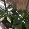 内藤とうがらし栽培中