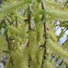 柳萌え温室の花より淡かりき