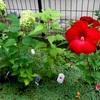 ★「ハイビスカス」の赤い花が咲いた♪「ハイビスカス」といえば、あの映画。