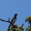 令和元年のゴールデンウイーク中に、各地で探鳥! クロツグミ編(初撮影しました)