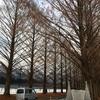 メタセコイヤ並木について