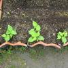 【家庭菜園】つるなしインゲンの間引きをしました