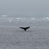 マッコウクジラが1984年以来30数年ぶりに、バンクーバー沖で目撃