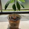 果物の種を水につけておいたら芽が出た話