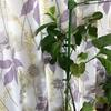 レモンの花のつぼみ登場!|室内で鉢植えレモン『アレンユーレカレモン』栽培