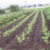 農園日誌ーむかし野菜の邑の進むべき道は?