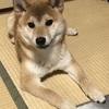 柴犬あきとの生活 143