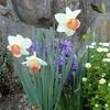 ムスカリが咲き始めました。