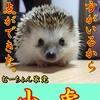 【ハリネズミブログ】むーちょん家 総選挙 no.6 小虎