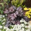 【日陰で育つカラーリーフ】地植えヒューケラ6品種の成長と開花~寄せ植えやグランドカバーにおすすめ!