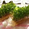 「豆苗の水耕栽培」しています。収穫の楽しみ