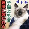睡魔に襲われる子猫!周りが気になって眠気と戦う!【よもぎ】
