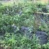 Refarm 雨の収穫とさつま芋の苗植え