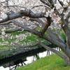 4月上旬浜松市芳川の桜並木