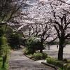 町田市 芹が谷公園の桜