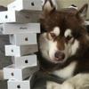中国の富豪がペットの犬にiPhone7を8台買い与える