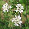畑のハーブの花