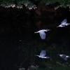 ヤマセミ2羽
